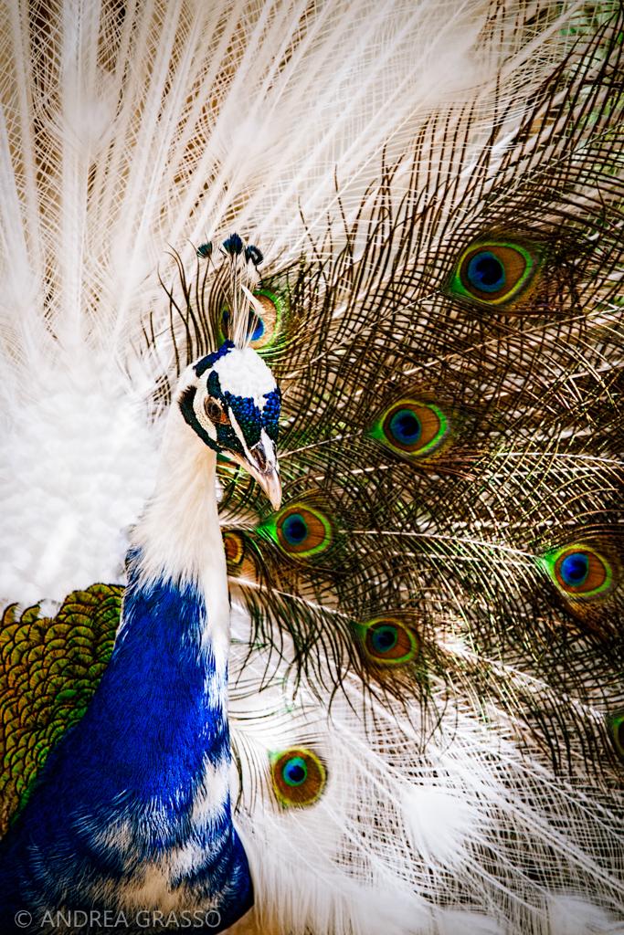 Un giovane pavone – 2